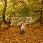 Autumn Sheep