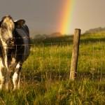Tockholes Cow